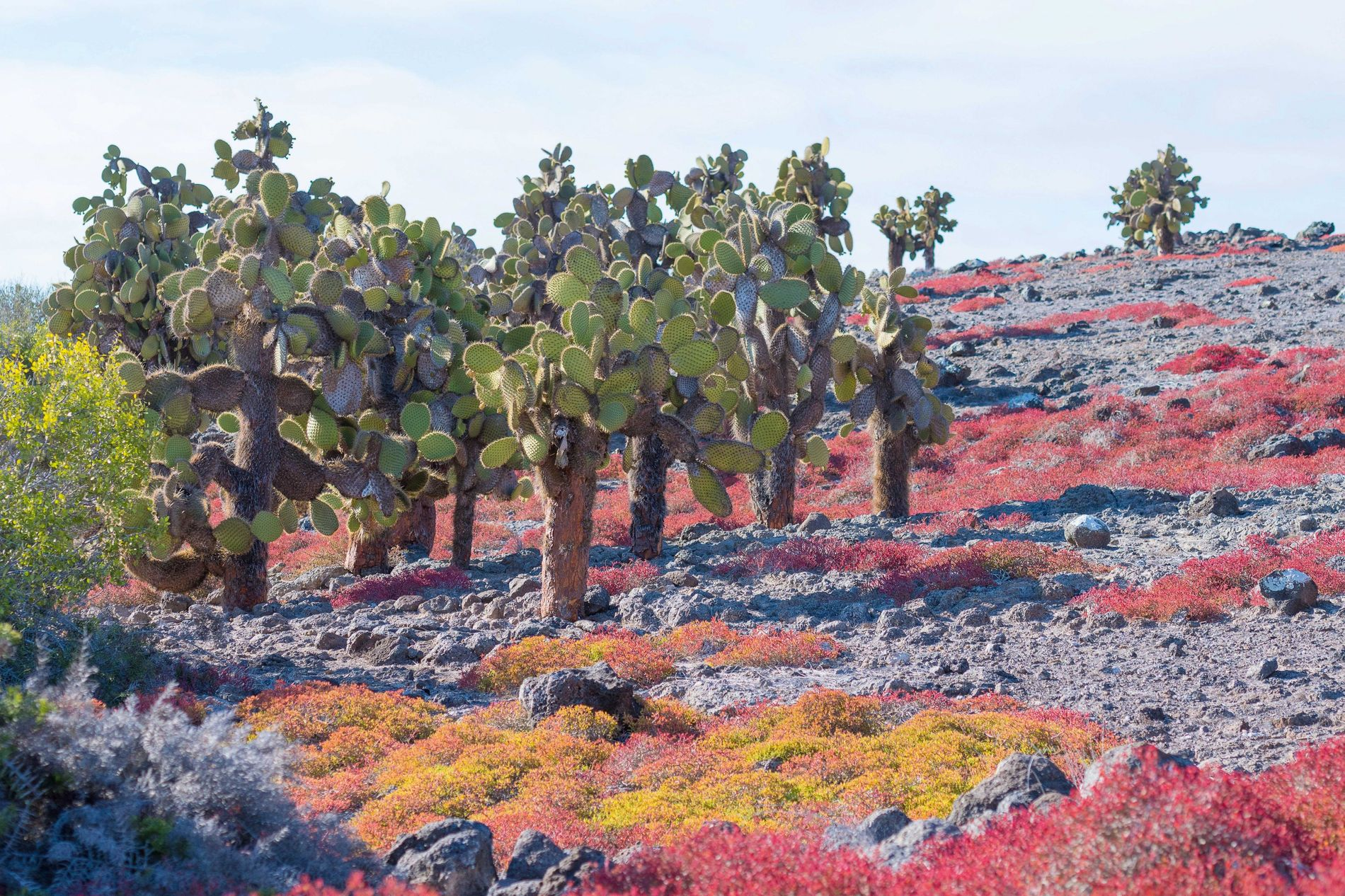 Prickly pear cacti are plentiful on the colourful landscape of the Galápagos.