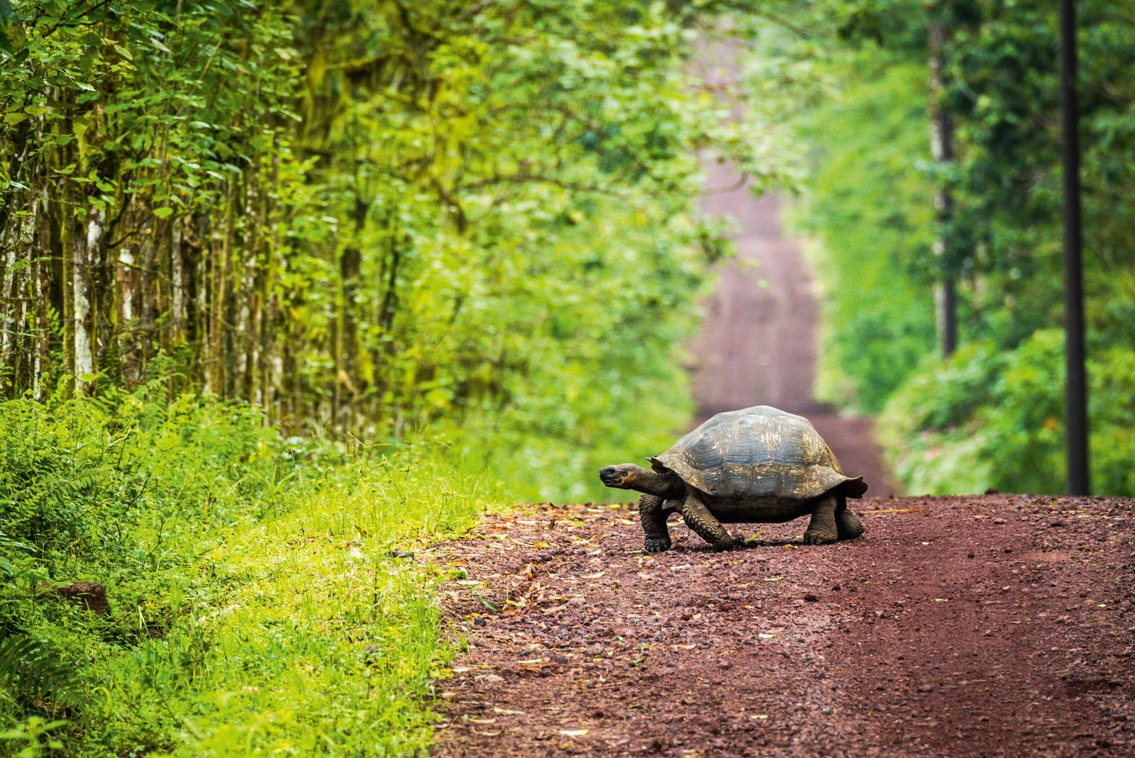 250,000 giant tortoises once roamed the Galápagos. Today, around 35,000 remain.