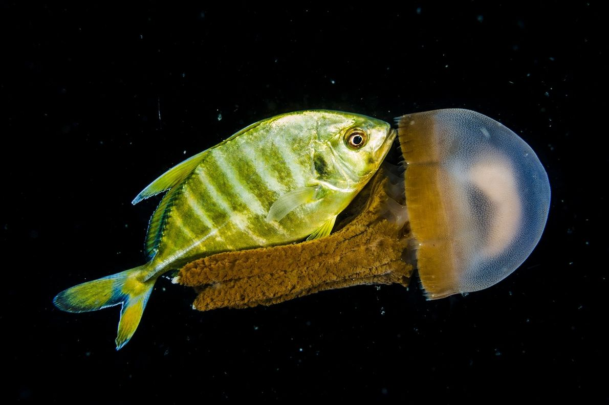 A juvenile trevally and a jellyfish mingle in the deep sea off the Philippines coastline. Photographers ...