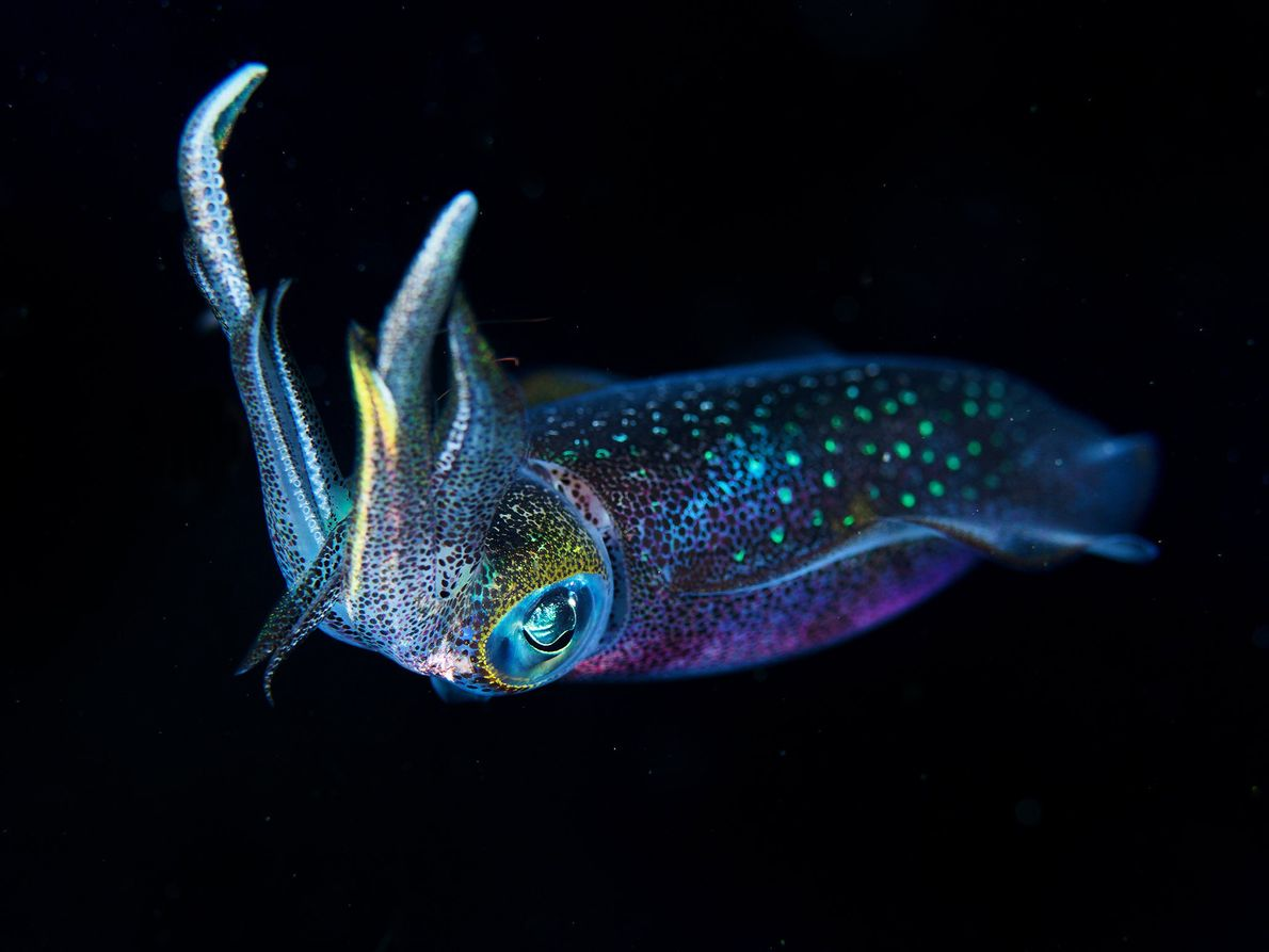A nightcralwer squid is seen floating in the water in Moalboal, Central Visayas, Philippines.
