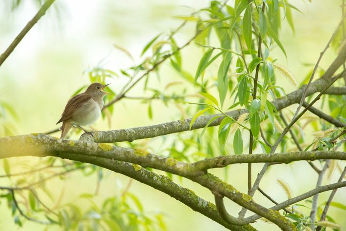 Nightingales are migratory birds, arriving in the UK from mid-April until the end of August. They're ...