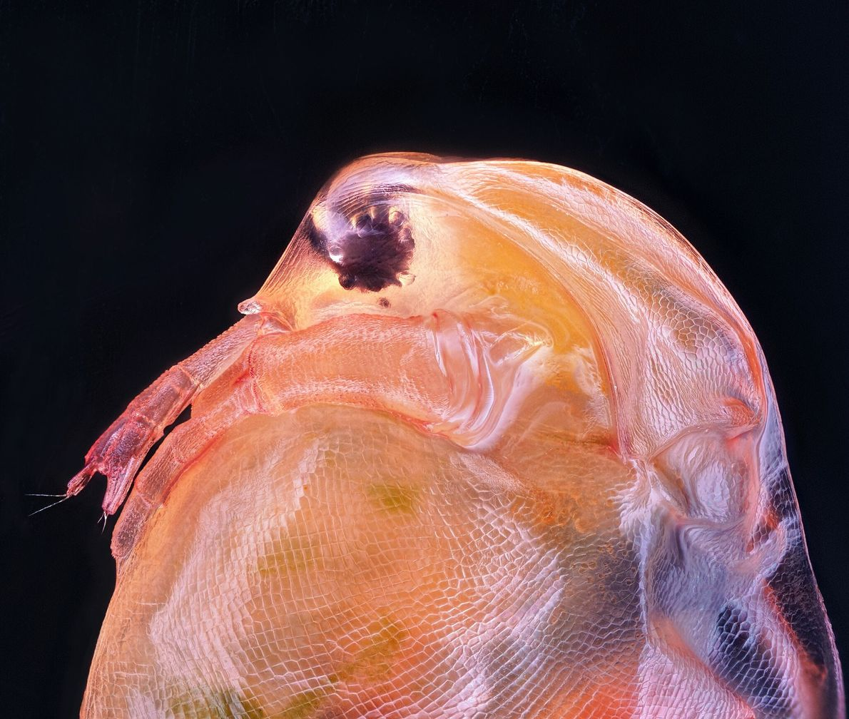 The lumpy Daphnia magna, or water flea, is a small crustacean often used as an experimental ...