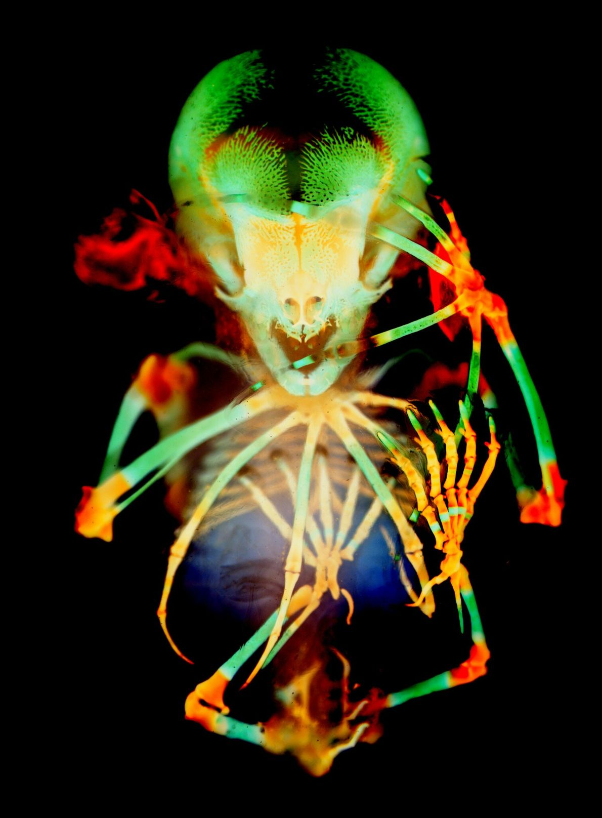 The ghoulishly technicolour skeleton of a short-tailed fruit bat embryo was captured by Dorit Hockman and ...