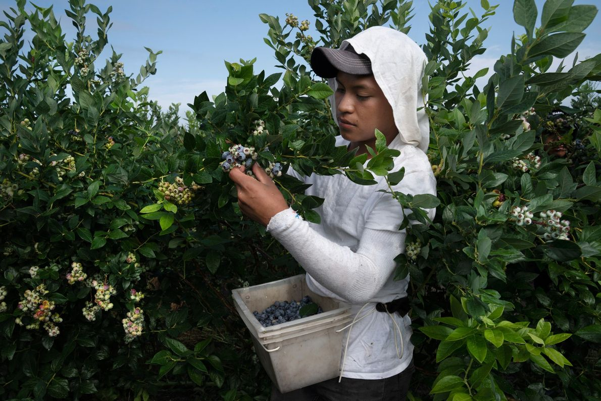 A blueberry picker gathers fruit at Atlantic Blueberry Co. in Mays Landing, New Jersey, where most ...