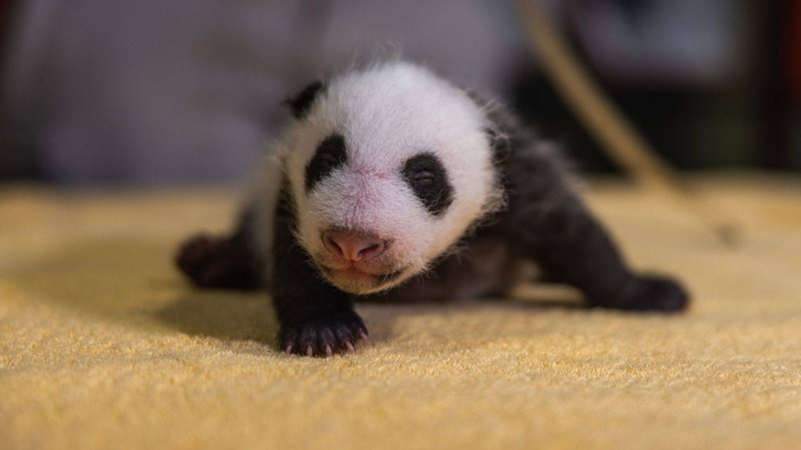 Pandas are born without their distinctive black-and-white markings—but they fill in quickly, as seen on this ...