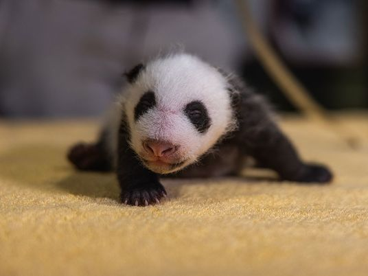 Born blind, pink, and entirely helpless, here's how giant pandas grow up