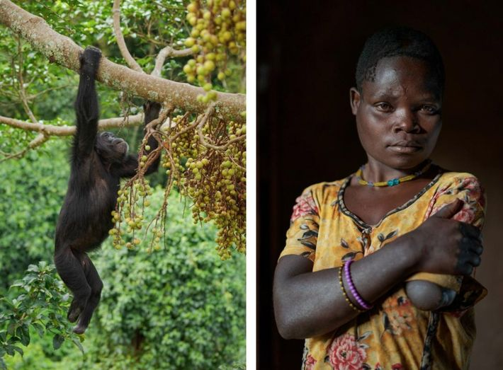Left: Some villagers set snares in the forest to trap antelope, bush pigs, and other animals ...