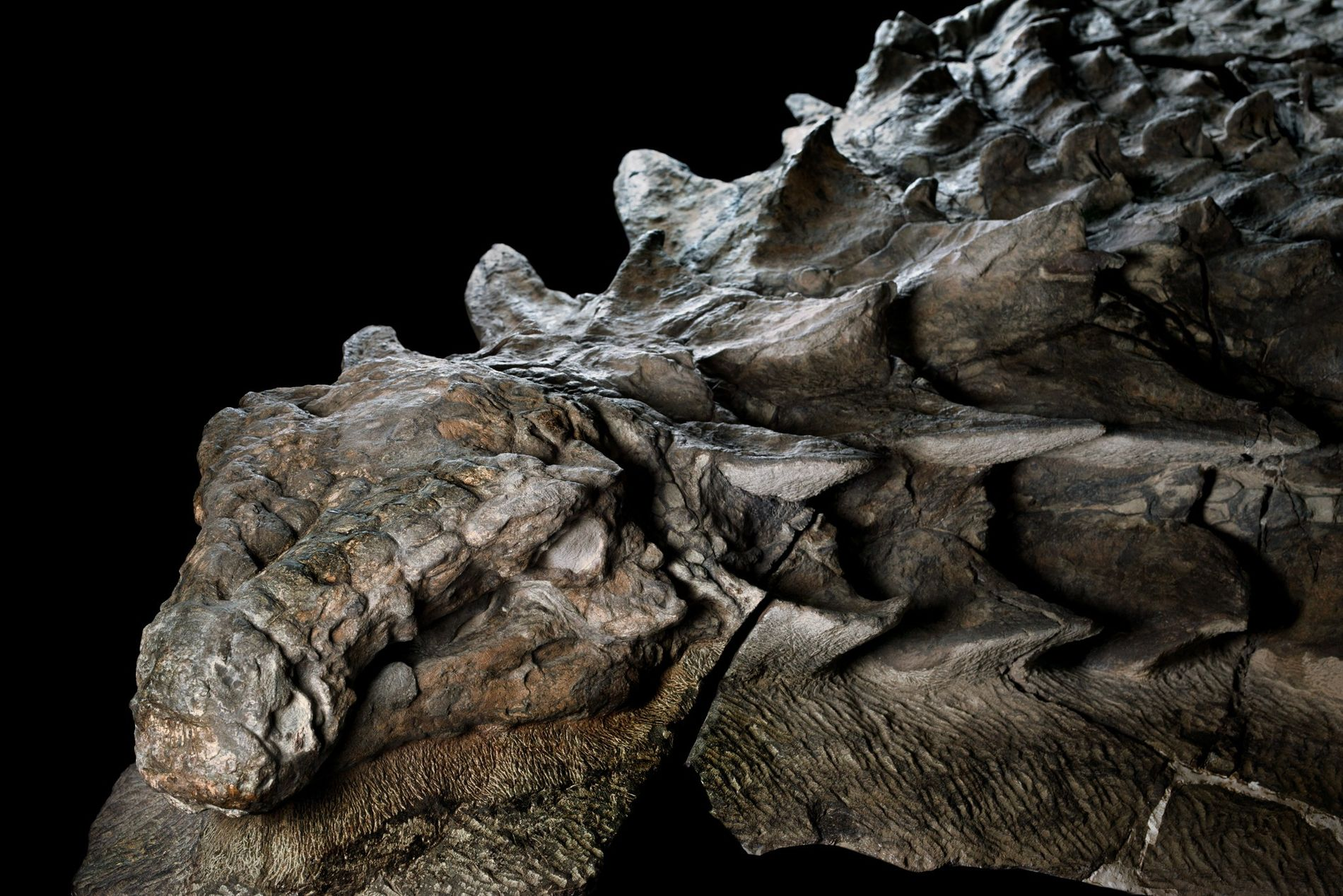 Some 110 million years ago, this armoured plant-eater lumbered through what is now western Canada, until a flooded river swept it into open sea. The dinosaur's undersea burial preserved its armour in exquisite detail. Its skull still bears tile-like plates and a gray patina of fossilised skins.