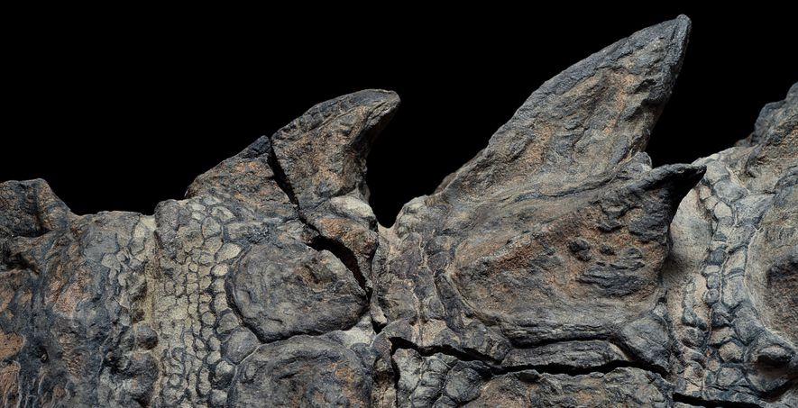 Armoured dinosaurs' trademark plates usually scattered early in decay, a fate that didn't befall this nodosaur. The remarkably preserved armour will deepen scientists' understanding of what nodosaurs looked like and how they moved.