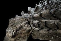 Hours after Borealopelta enjoyed its last meal, the dinosaur somehow got swept out to sea. The ...