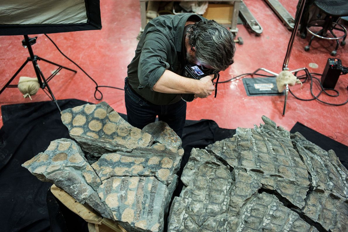 One of the blocks of the nodosaur fossil split in half along the plane of the ...