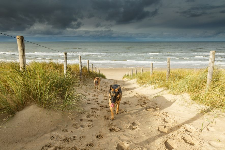 Dogs walk up from Noordwijk Beach, the Netherlands, on a stormy day.