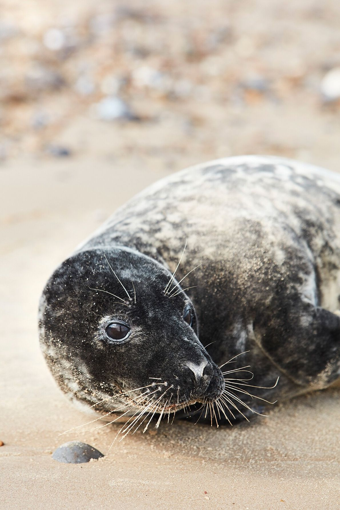 Blakeney is the gateway to the Blakeney National Nature Reserve, home to the largest grey seal ...
