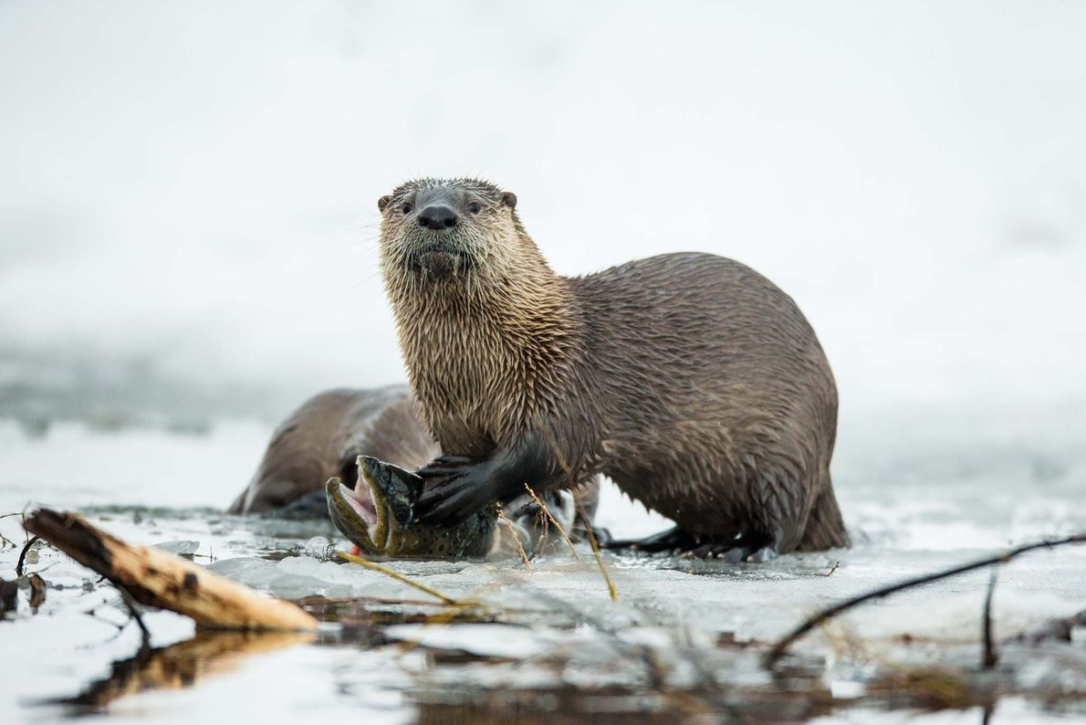 River otters tend to live alone, but they socialise in playful groups.