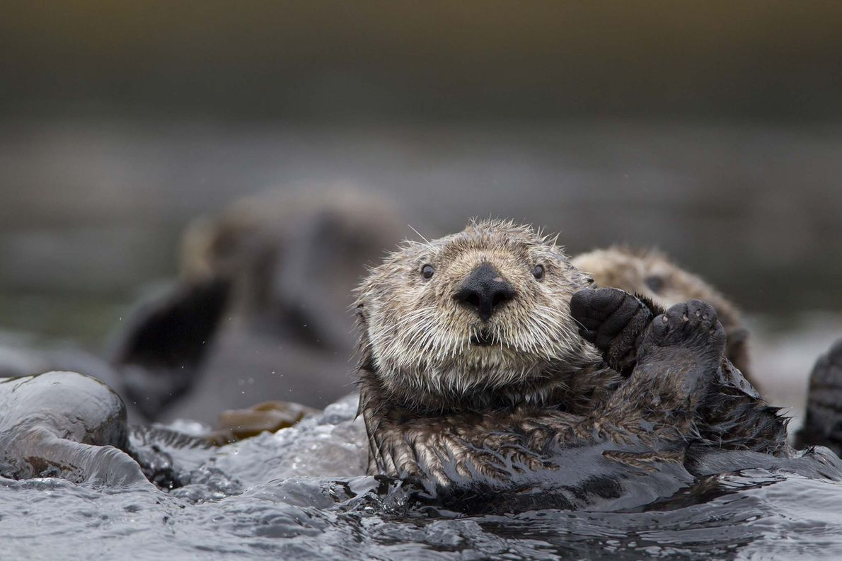 Sea otters sometimes link feet to hold each other in what's called a raft—a group of …