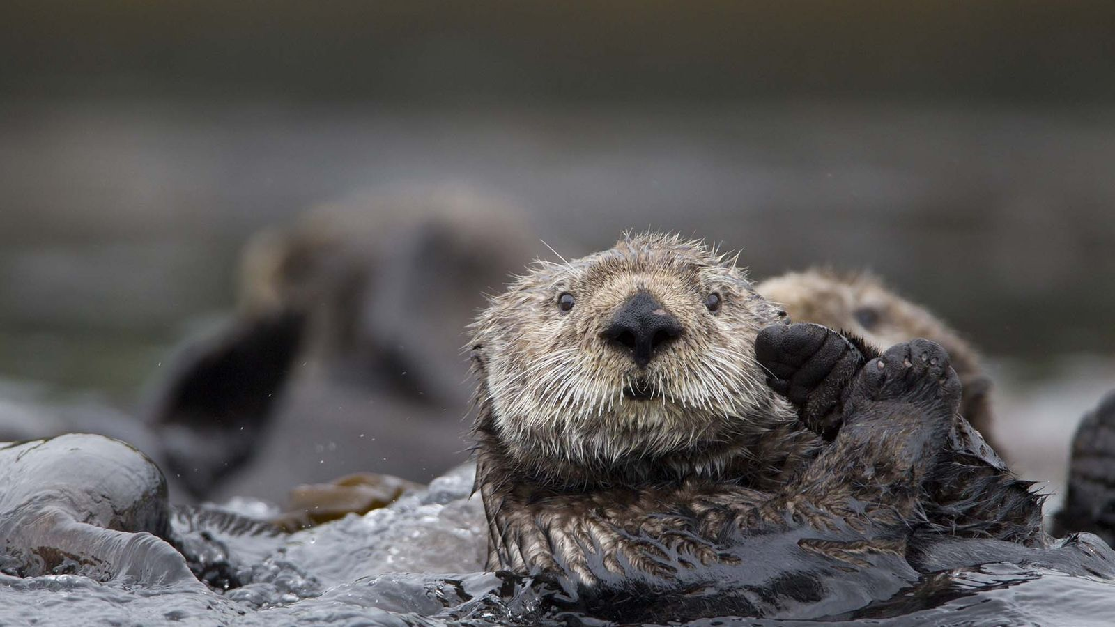 Sea otters sometimes link feet to hold each other in what's called a raft—a group of ...