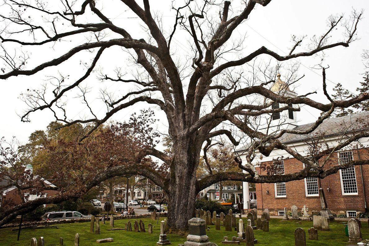 Basking Ridge Oak Tree, New Jersey