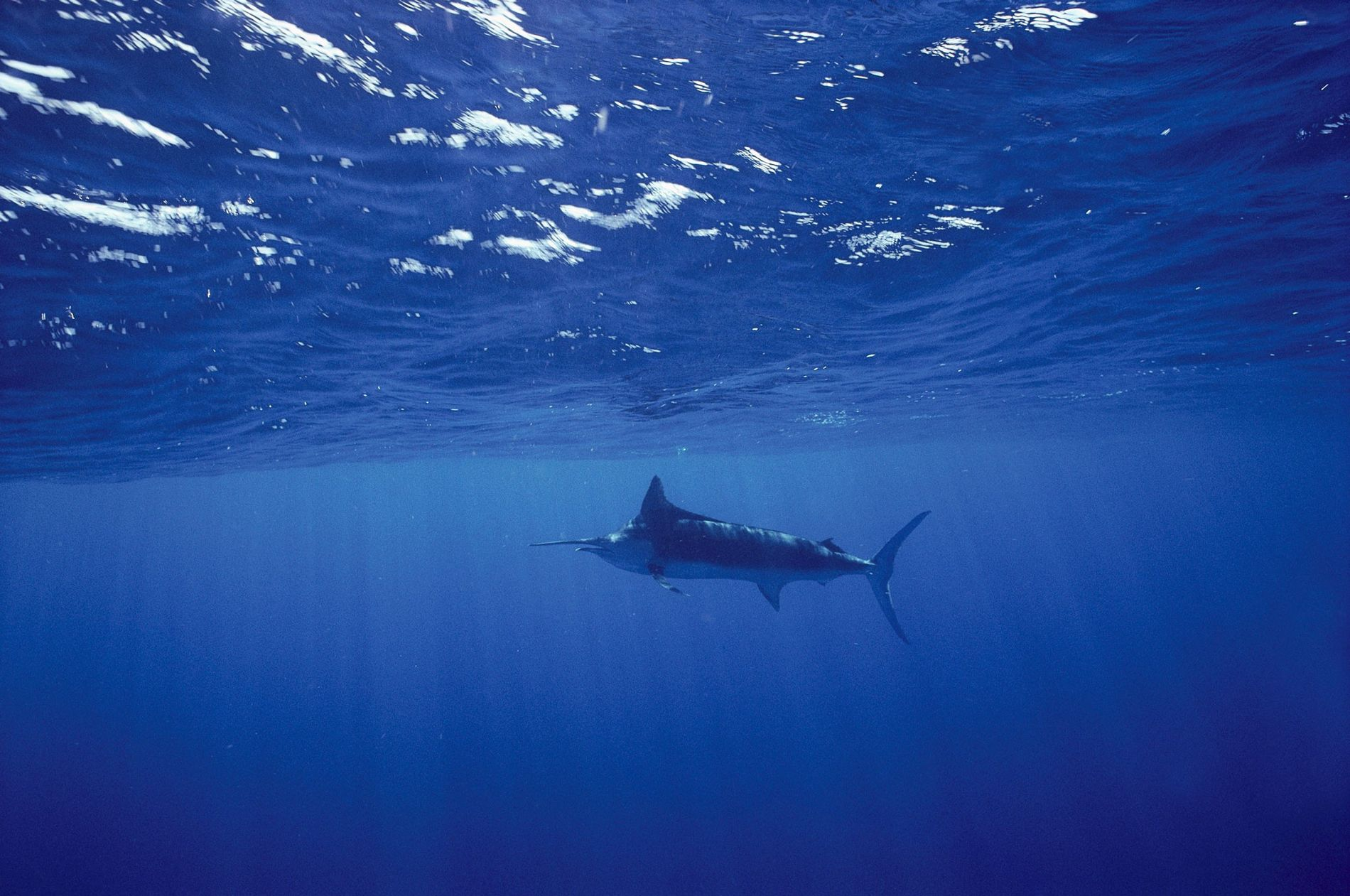 A blue marlin swims in the Sea of Cortez off Baja California. Marlin are among the fish that are crowding toward the surface in some parts of the ocean as they flee low-oxygen zones in the deep.