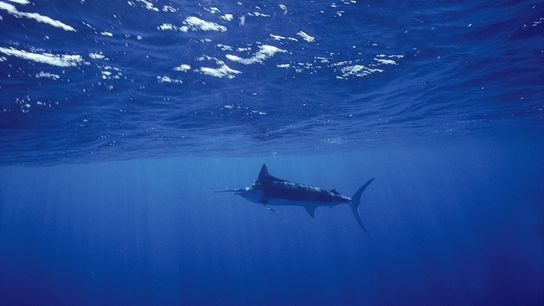 A blue marlin swims in the Sea of Cortez off Baja California. Marlin are among the ...