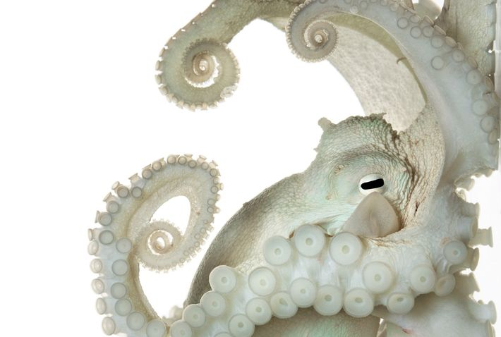 The nervous system of this common octopus is larger and more complex than that of most ...