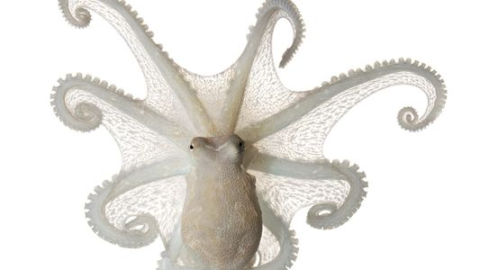 In pictures: The fascinating, unique octopus