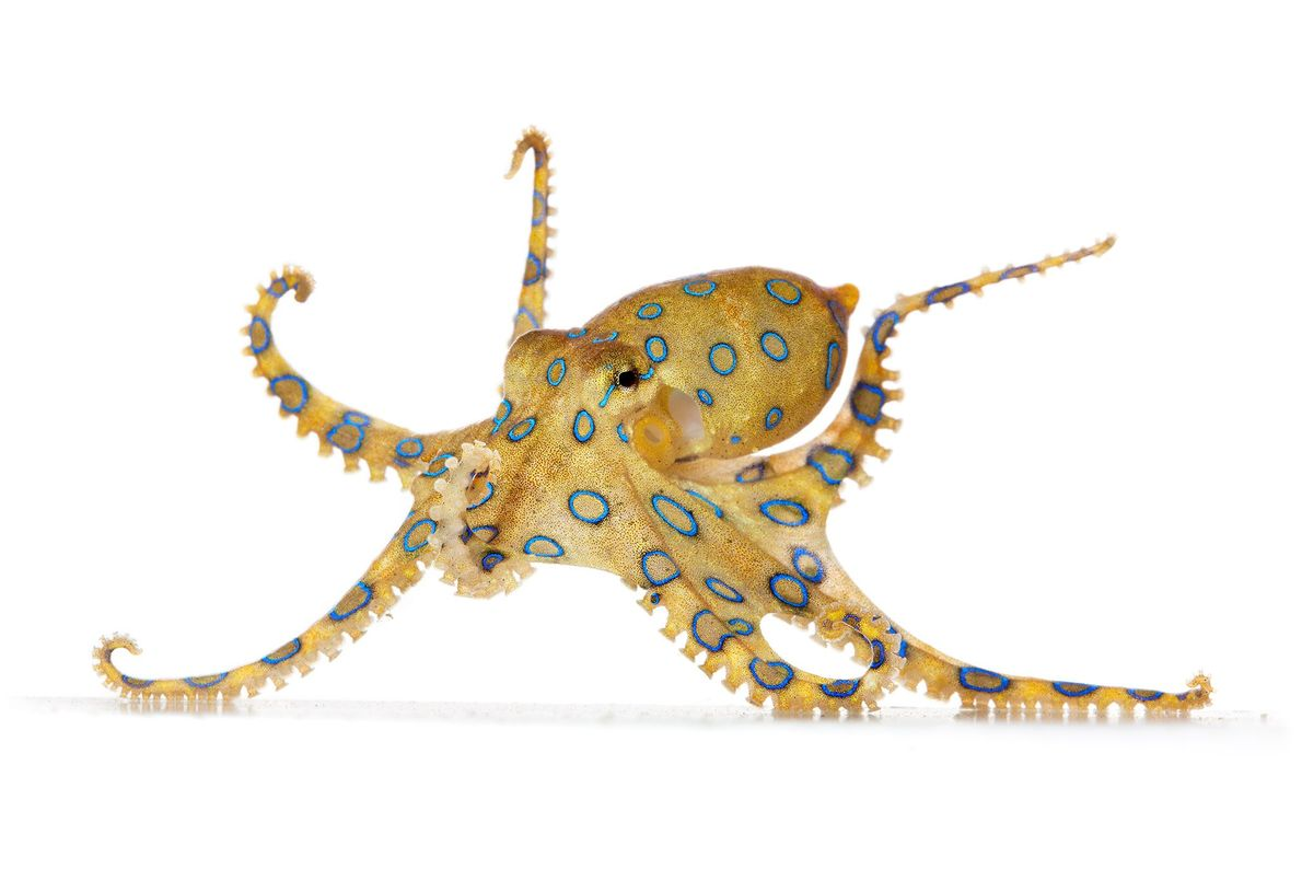 "The blue-ringed octopus is small and beautiful, but its colors say ""danger,"" since it's highly venomous."