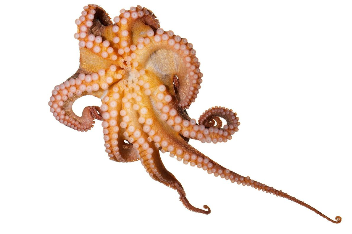 The East Pacific red octopus is widely found on the West Coast of the United States. ...