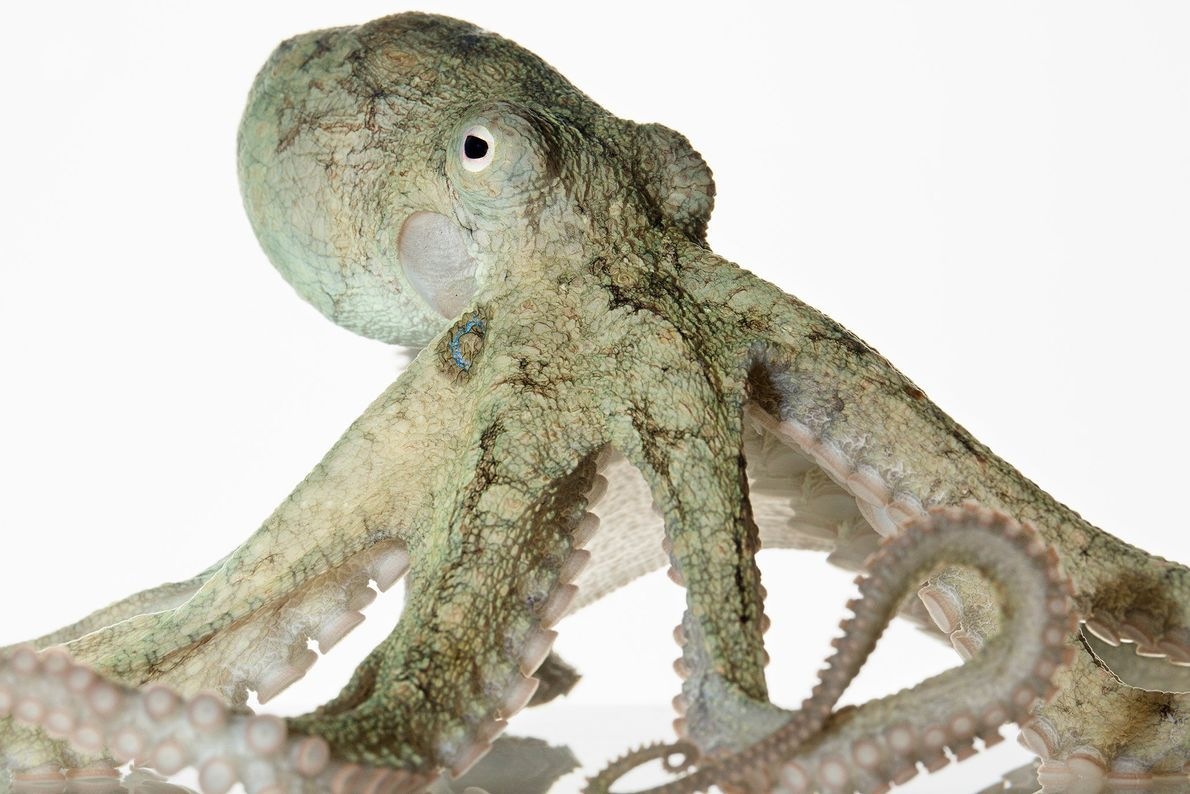 The California two-spot octopus, also called the bimac octopus, is a species divers come across often, ...