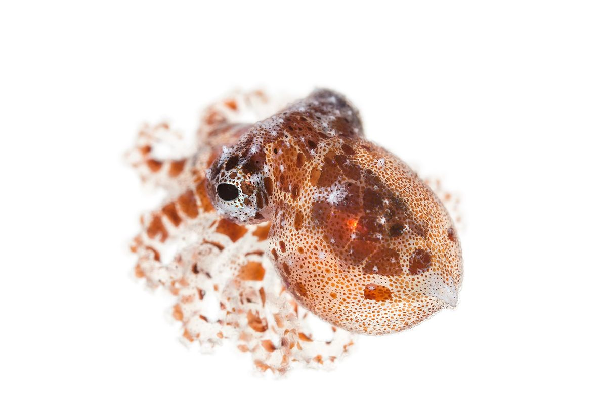 The star-sucker pygmy octopus is the smallest known octopus at under an inch long.