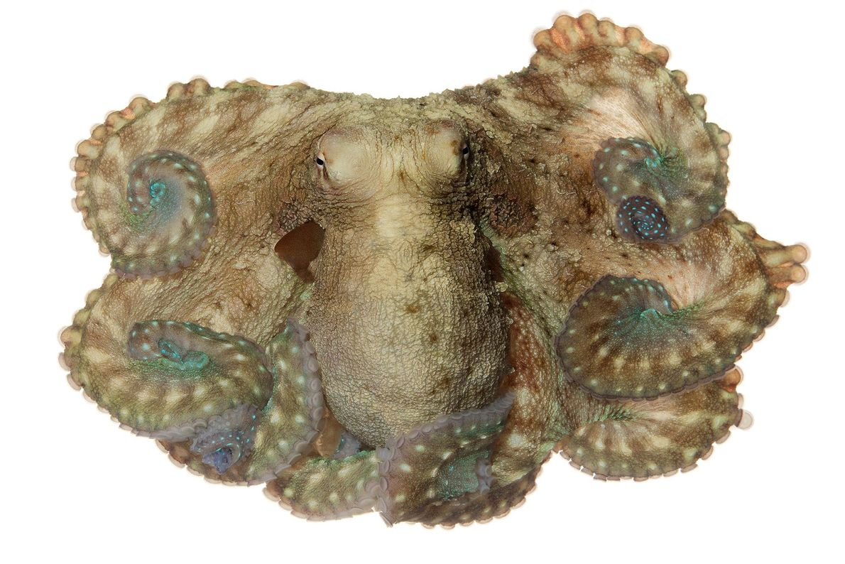 Because the day octopus feeds during the day, it has exceptional camouflage abilities.