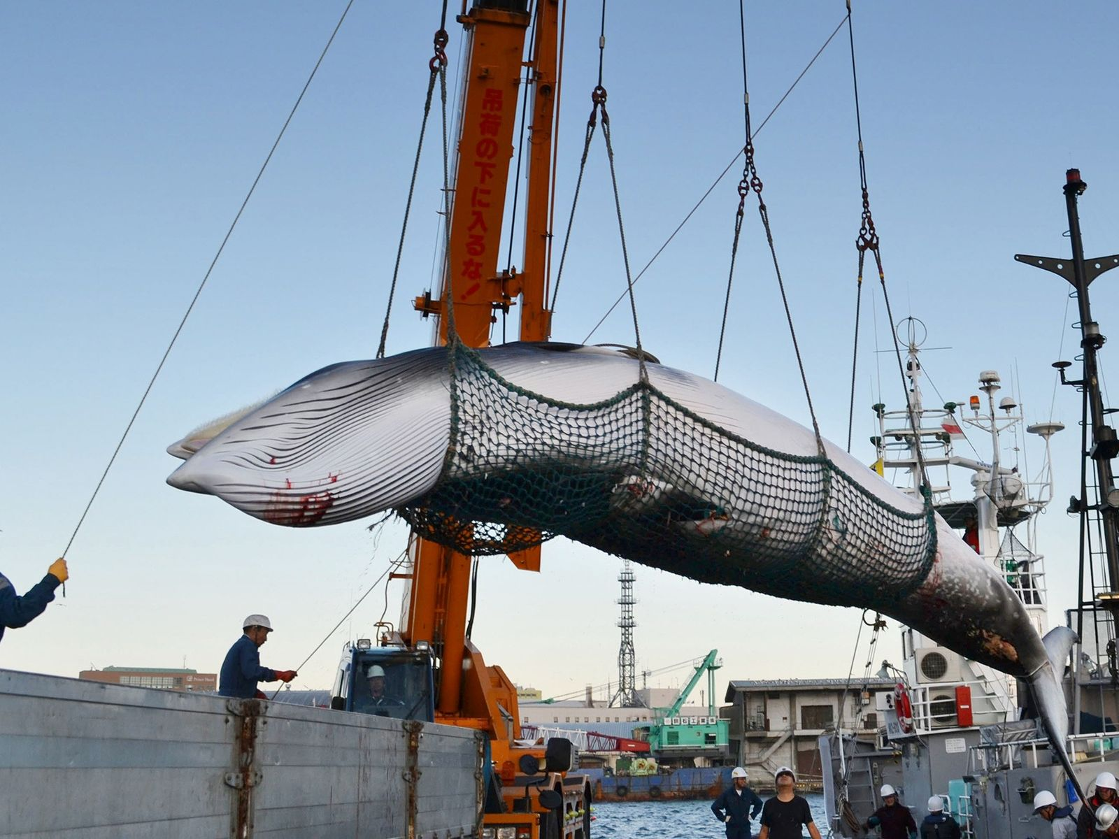 Minke whales, like the one pictured here being brought onshore at a Japanese port, have been ...