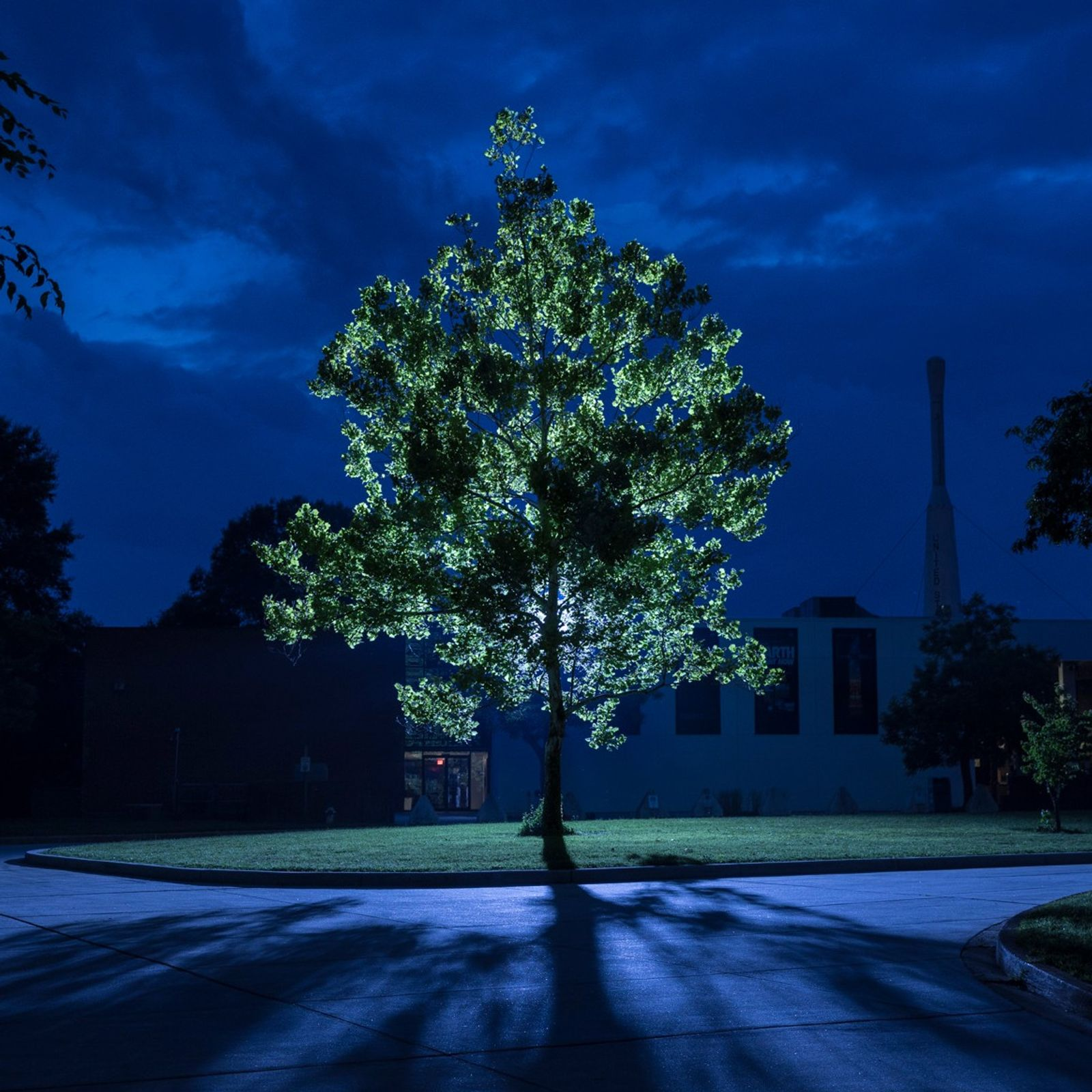 A moon tree stands tall, illuminated from behind by artificial lights, at NASA's Goddard Space Flight ...