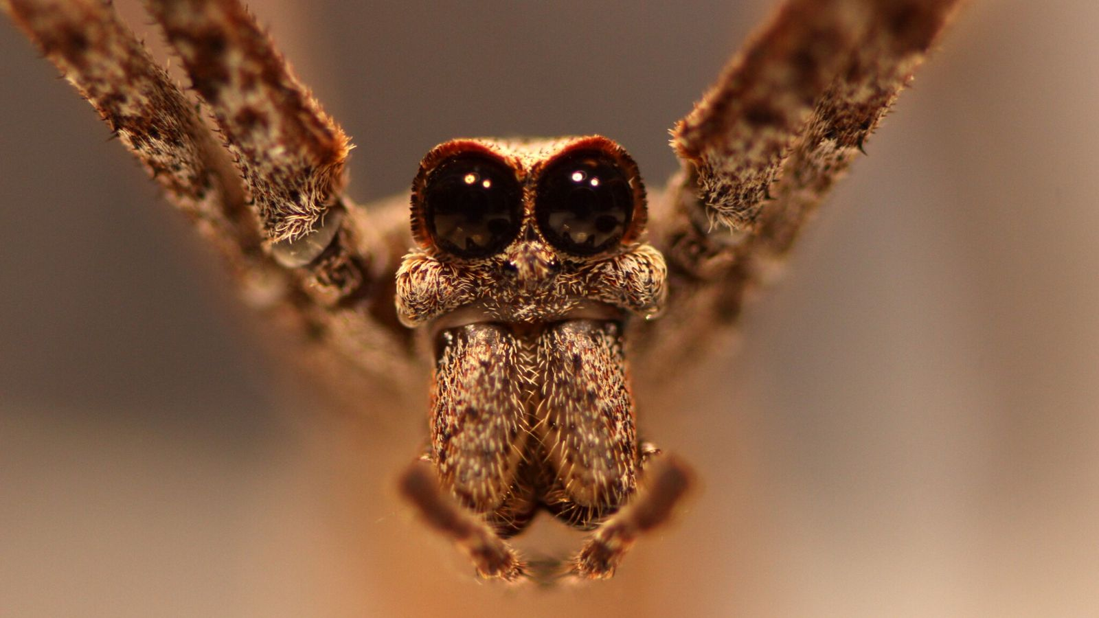 Ogre-faced spiders have eight eyes, but the two massive, forward-facing orbs are what give the arachnid ...