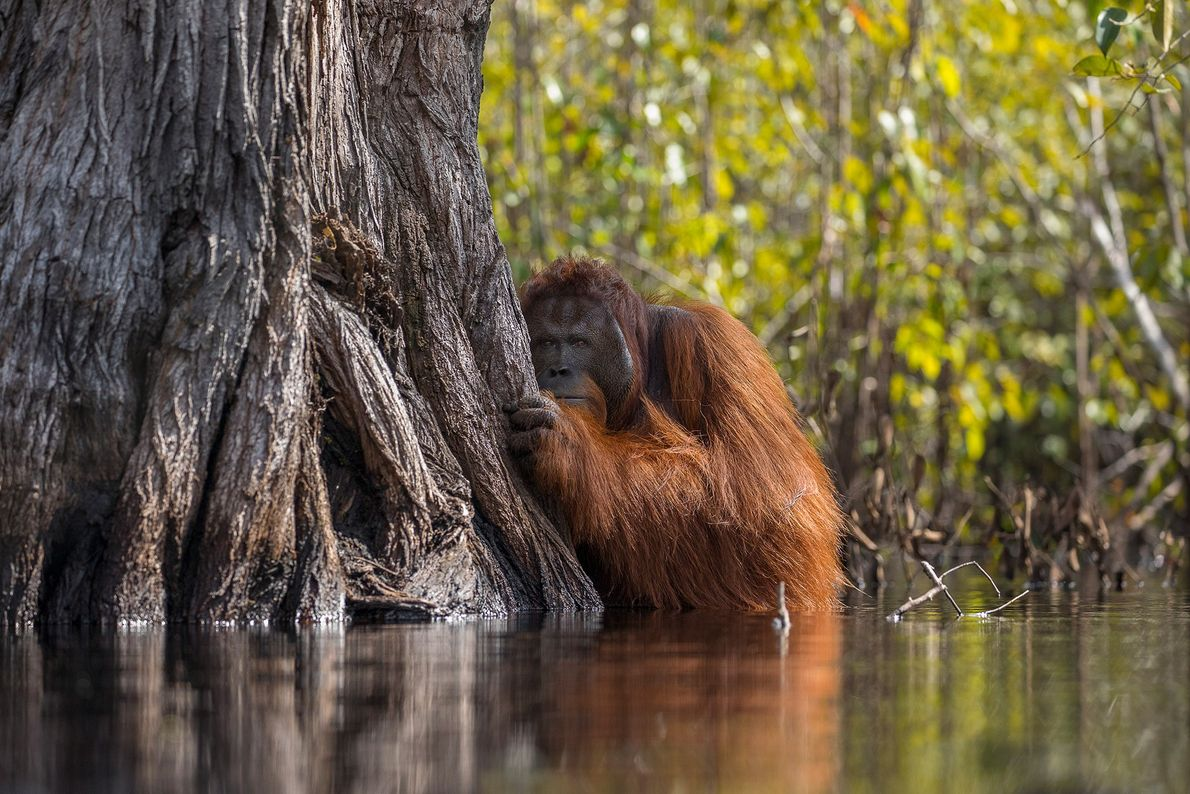 Patience and commitment helped Bojan capture this stirring image of a a male orangutan peering from ...