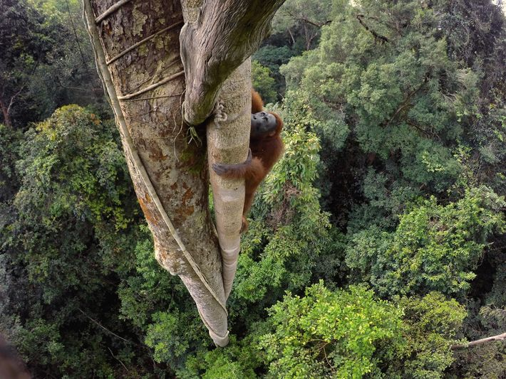 Tempted by the fruit of a strangler fig, a Bornean orangutan climbs 100 feet into the ...