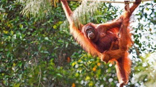 Pongo the orangutan with young in Semenggoh.