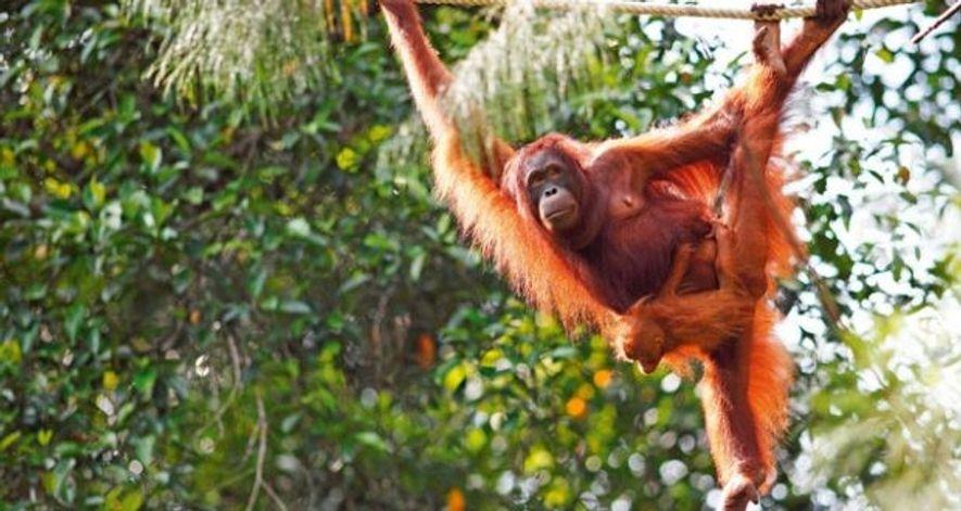 Malaysia: Meet an orangutan