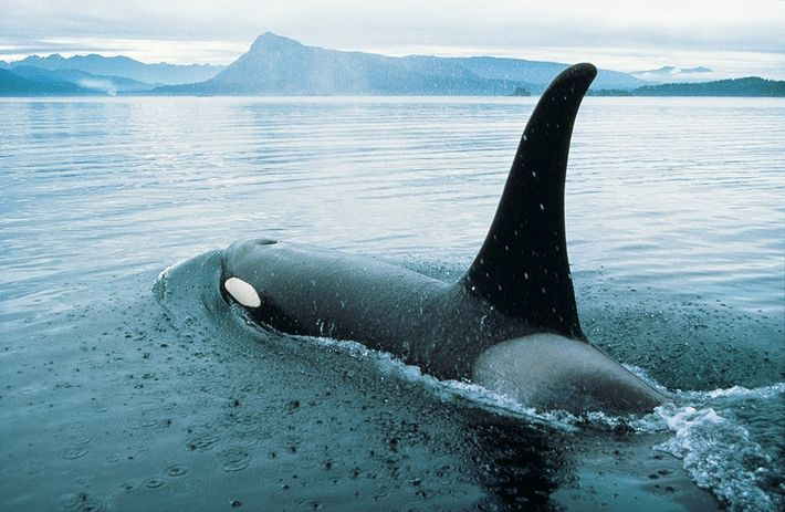 An orca glides off the coast of Vancouver Island.
