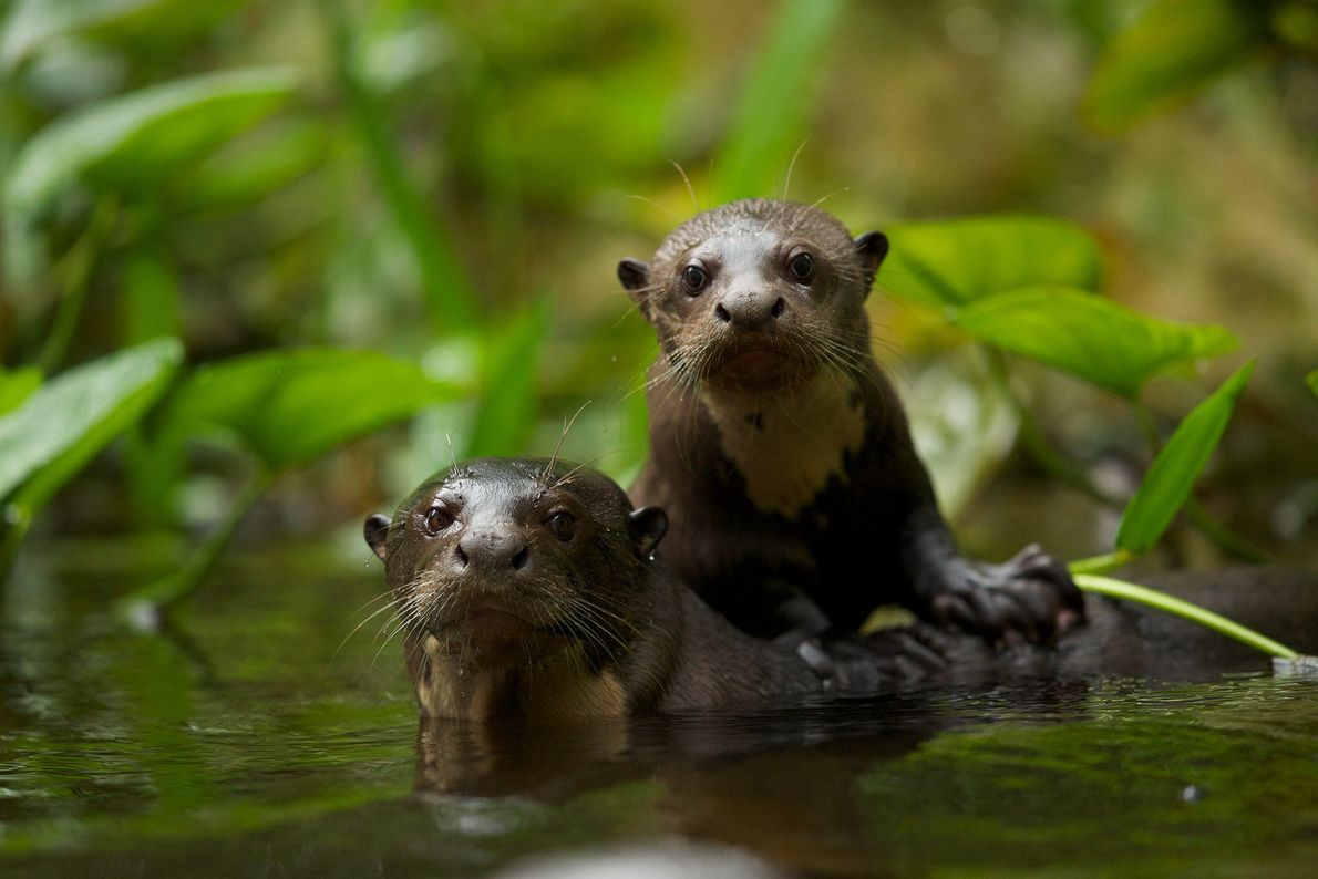 Giant river otters like these in Ecuador are born covered with fur.