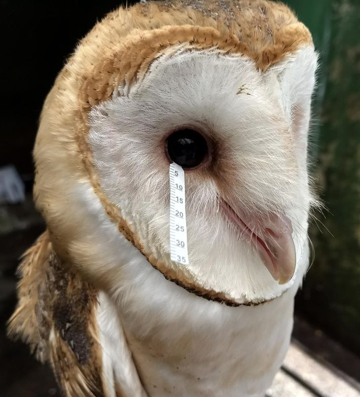 A scientist takes a tear sample from a barn owl.