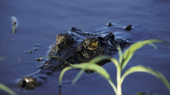 Saltwater crocodile swimming in Kakadu National Park, Northern Territory