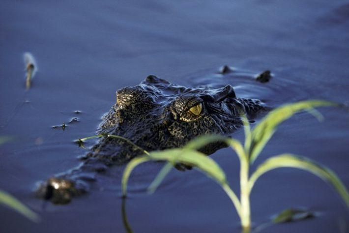 Saltwater crocodile swimming in Kakadu National Park, Northern Territory