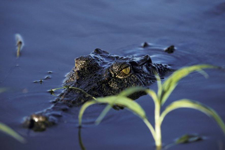 Saltwater crocodile, Kakadu National Park
