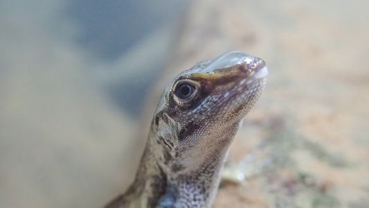 These lizards use bubbles to breathe underwater