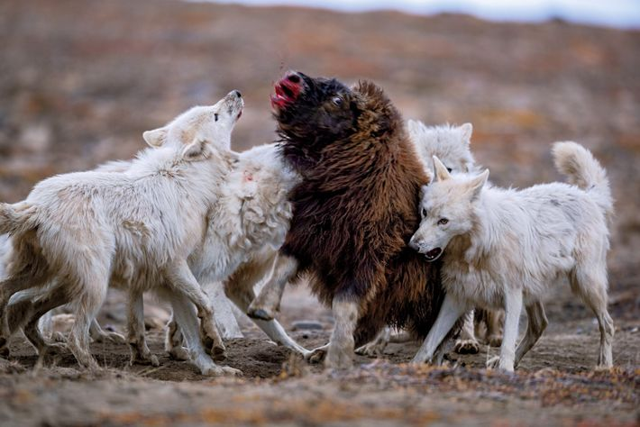 A young muskox fended off the wolves for 20 minutes before going down. As One Eye ...