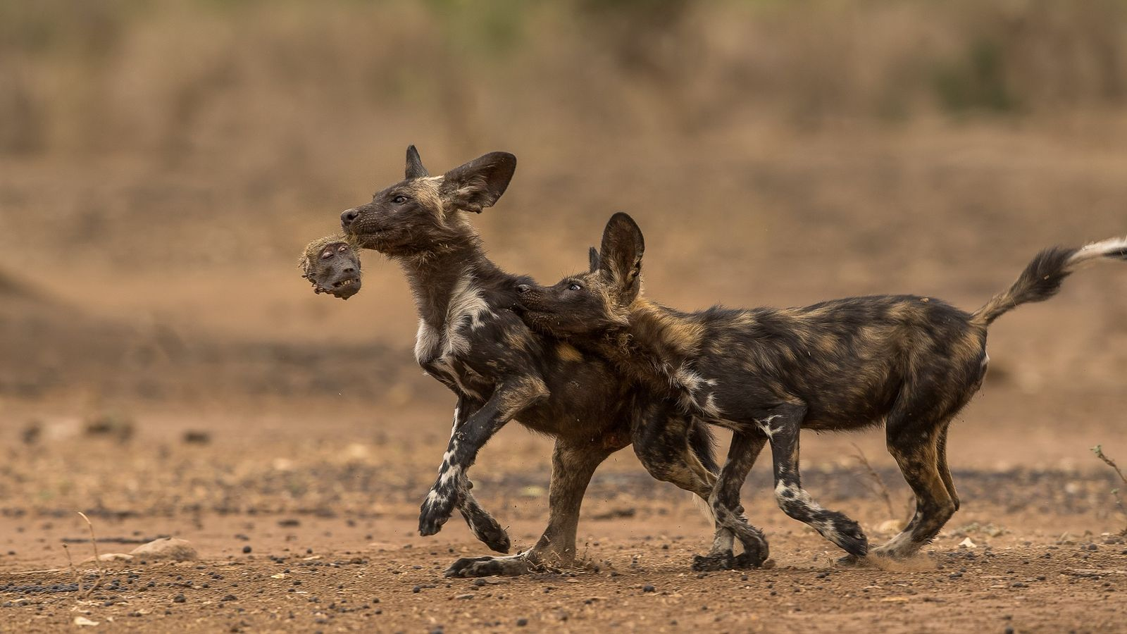African Wild Dogs Start Preying On Baboons National Geographic