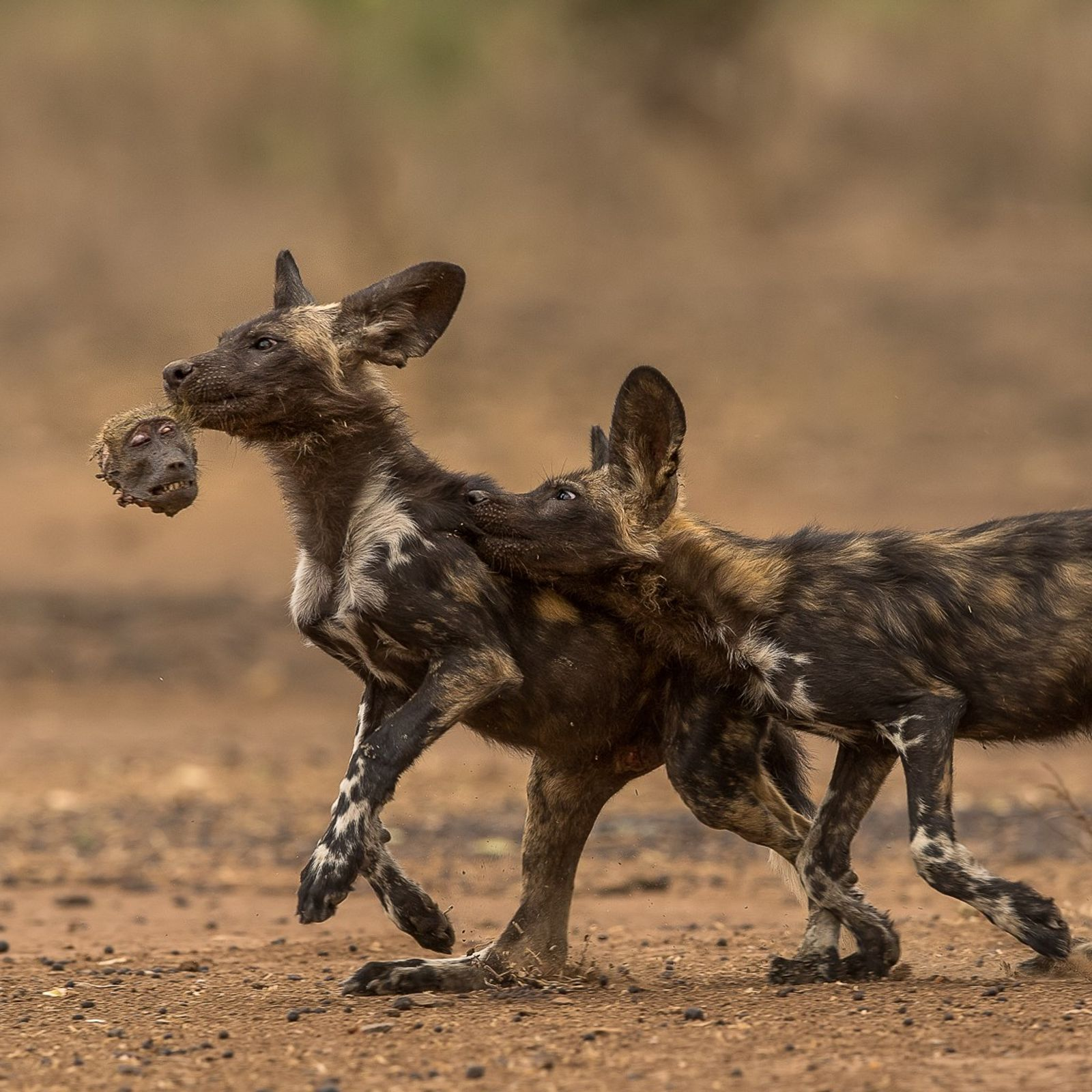 A pair of painted wolf pups play a macabre game of tag with the head of ...