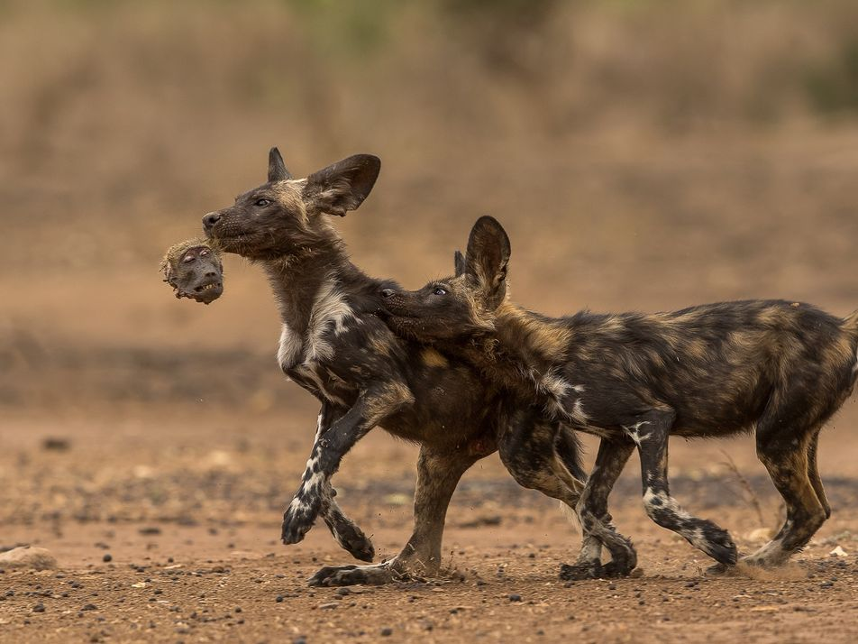 African Wild Dogs Start Preying on Baboons