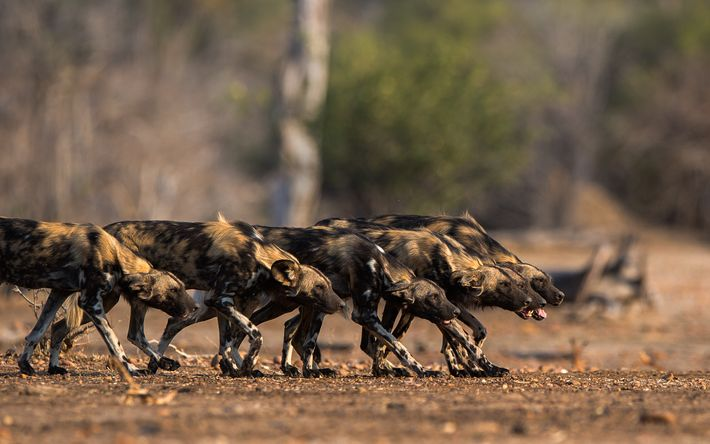 Low down, straight-backed and focused, the painted wolves go into stealth mode as they close in ...