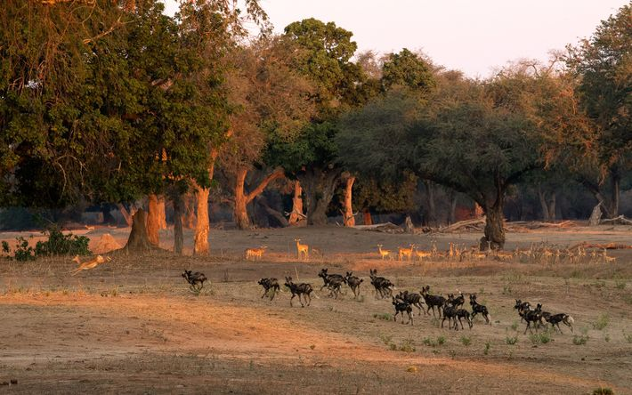 After stalking their prey the painted wolves launch their attack. While the painted wolves are Africa's ...
